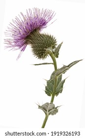 Flower of thistle, lat. Carduus, isolated on white background