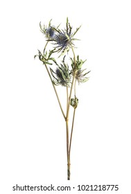 Flower of thistle on white background isolated