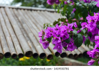 Flower tree commonly called Santa Rita or Flor de papel. Bougainvillea glabra, the lesser bougainvillea or paperflower.