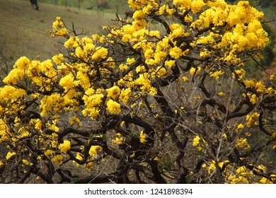flower tree ipe yellow