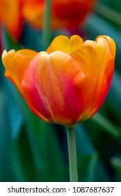 Flower - TULIPMANIA FLORAL DISPLAY. A stalk of Tulip 'Beauty of Apeldoorn' Darwin Hybrid Tulip against a blur green background.