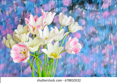 Flower tulips background. Beautiful view of white tulips.