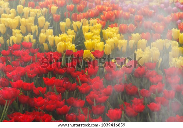 Flower tulips background. Beautiful view of tulips in fog landscape.