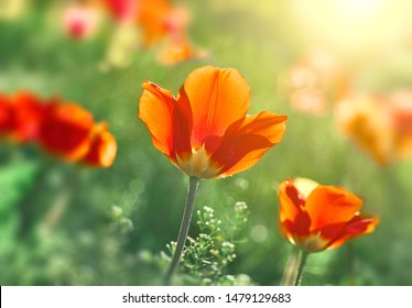 Flower tulips blooming on sunset in spring tulips garden on blurry tulips flower background.,