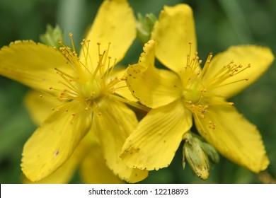 A flower of a tutsan