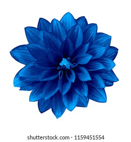 flower ultramarine dahlia isolated on white background. Close-up. Element of design.
