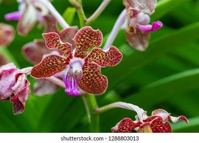 Flower – Vanda Mimi Palmer Pink in a blur Background.