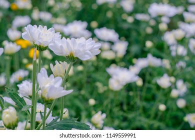Flower view,Flower or chrysanthemum flower.Flower blossom in garden.Using for wallpaper and background or texture.Beautiful nature under sunlight.Nature flower in garden.Natural at summer.