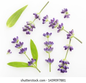 Flower violet lavender herb isolated on white background.