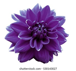 Flower violet  motley dahlia. Isolated on a white background. Close-up. without shadows. For design.