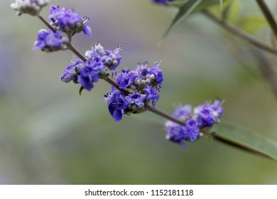 Flower of a vitex bush (Vitex agnus-castus)