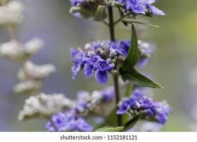 Flower of a vitex bush (Vitex agnus-castus)
