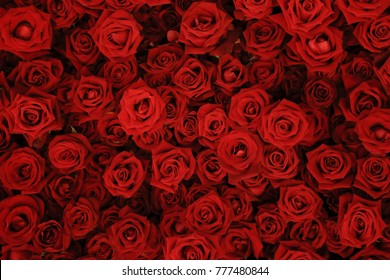 Flower wall, natural red roses background.