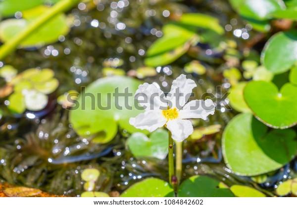 Flower of Water snowflake, banana plant lily and big floatingheart (Nymphoides aquatica) common aquarium plants
