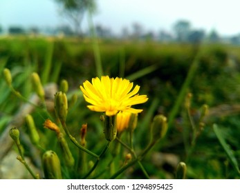 Flower in the wheat field A image clicked by Suman Dhungana in Itahari Sunsari
