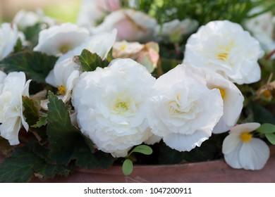 Flower white Begonia tuberhybrida