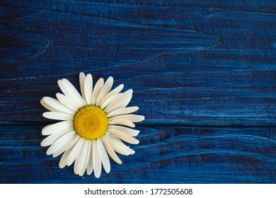 flower of white daisy (chamomile) on blue background