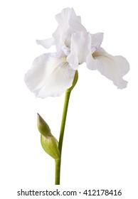 Flower of white iris on a white background