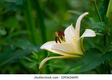 flower of white lily in the garden