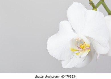 Flower white orchid closeup