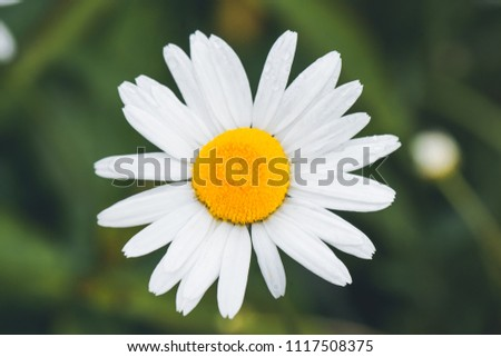 Flower White Petals Yellow Core On Stock Photo Edit Now 1117508375