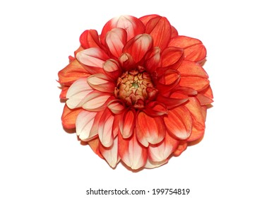 Flower white and red dahlia isolated on white