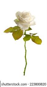 Flower white roses. Isolated