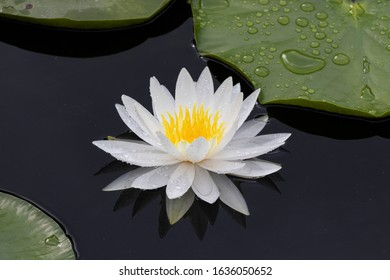 Flower of white water lily Nymphaea alba.