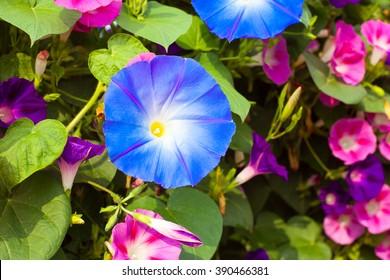 flower whose scientific name is Ipomoea purpurea