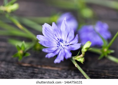 Flower of wild chicory endive . Cichorium intybus