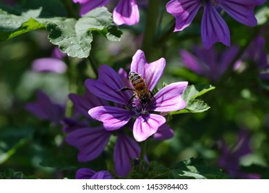 Flower of Wild Mallow with bee, Malva silvestris, Bavaria, Germany, Europe