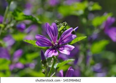 Flower of Wild Mallow, Malva silvestris, Bavaria, Germany, Europe - Shutterstock ID 1453984862