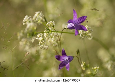 Flower of a wild rampion bellflower. Its Latin name is Campanula Portenschlagiana Syn Campanula Muralis