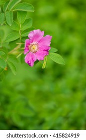 Flower of wild rose hips on nature background