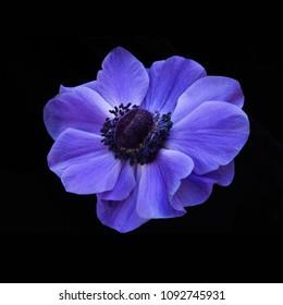 Flower Windflower Anemone