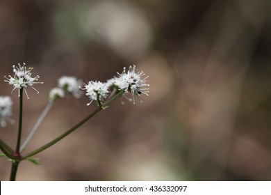 Flower of the wood sanicle (Sanicula europaea), a medical plant in Europe.