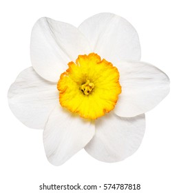 Flower of yellow Daffodil narcissus, isolated on white background way in path