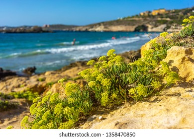 Flower of yellow flakes on the beach, Crete, Greece