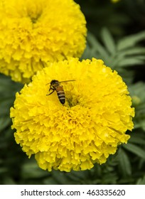Flower Yellow garden Marigolds and Bee foraging