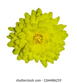 flower yellow isolated chrysanthemum