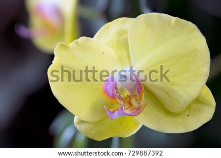 Flower yellow moon orchid macro against stock photo edit now flower yellow moon orchid macro against a dark blur background mightylinksfo
