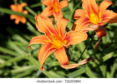flower yellow orange Lily nature plant garden garden in the summer the grass is green