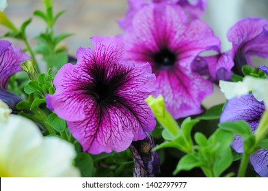 Flower,  yellow an purple petunia.