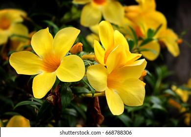 5565 Allamanda Allamanda Flower Images Royalty Free Stock Photos