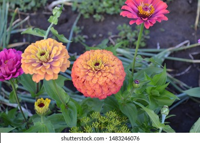 Flower Zinnia. Gardening. Home garden, flower bed. House. Zinnia, a genus of annual and perennial grasses and dwarf shrubs of the Asteraceae family