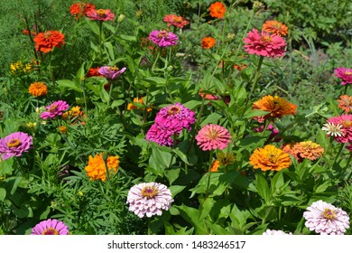 Flower Zinnia. Gardening. Home garden, flower bed. Zinnia, a genus of annual and perennial grasses and dwarf shrubs of the Asteraceae family. Multicolored