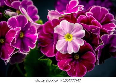 Flower - Zonal Geraniums