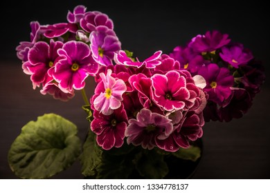 Flower - Zonal Geraniums, horse-shoe pelargonium or wildemalva (Pelargonium zonale)