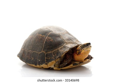 Flowerback Box Turtle (Cuora galbinifrons) isolated on white background.