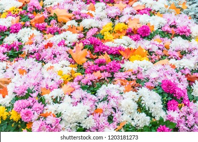 Flowerbed with blooming asters in autumn, and covered with spruce orange leaves